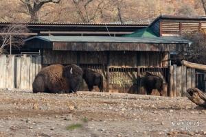 Пражский зоопарк. Бизон