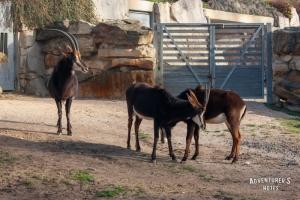 Пражский зоопарк. Антилопа