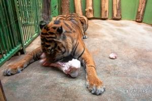 Пражский зоопарк. Тигр