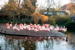 Пражский зоопарк. Фламинго