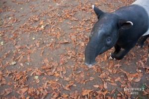 Пражский зоопарк. Тапир